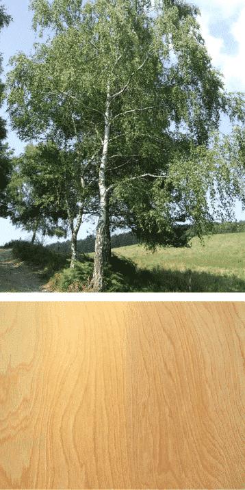 madera y arbol abedul