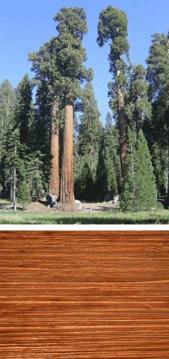 madera y árbol alerce