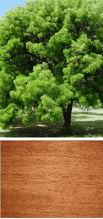 árbol de caoba madera