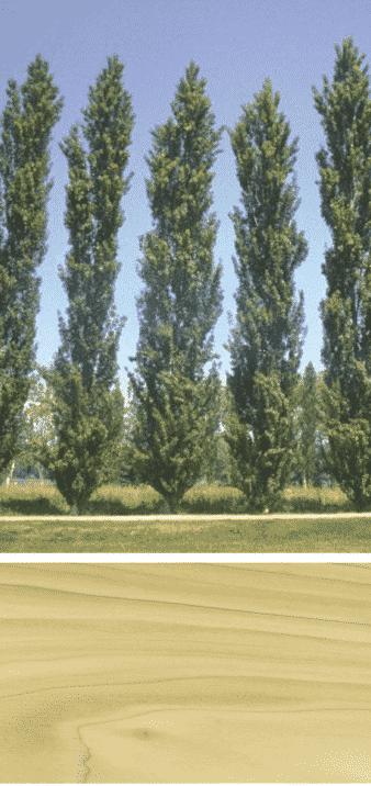 chopo madera arbol