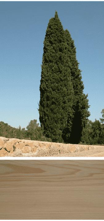 ciprés arbol de la madera