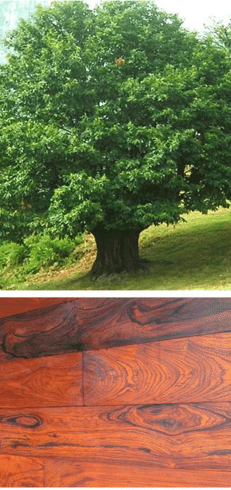 cocobolo madera y árbol