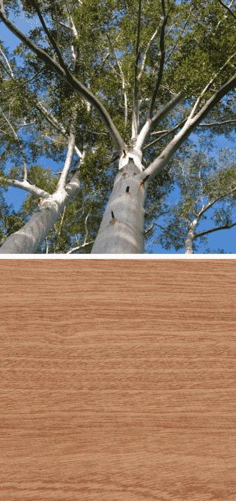 árbol de eucalipto madera