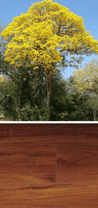 árbol de guayacán