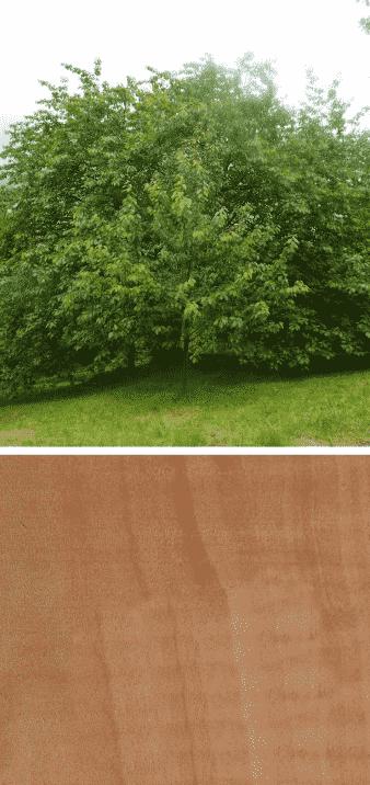 madera de guindo arbol
