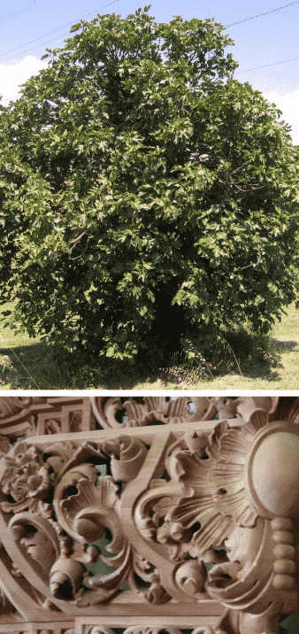 árbol higuera madera decoración