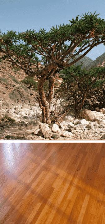 incienso árbol aromático y madera parquet