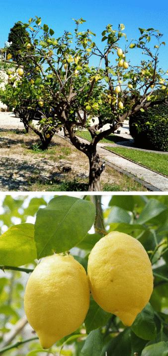 limonero árbol frutal limones
