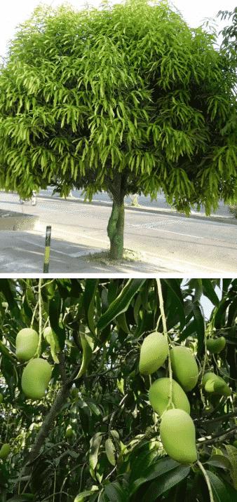 árbol frutal mango tropical