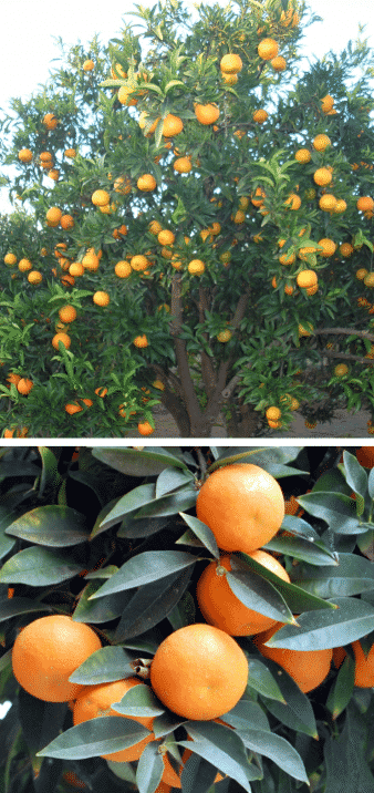 naranjo árbol frutal naranjas