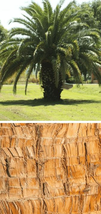 palmera planta corteza