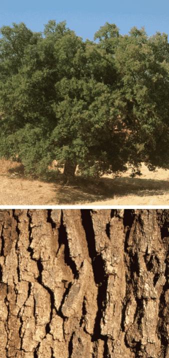 quejigo árbol madera corteza