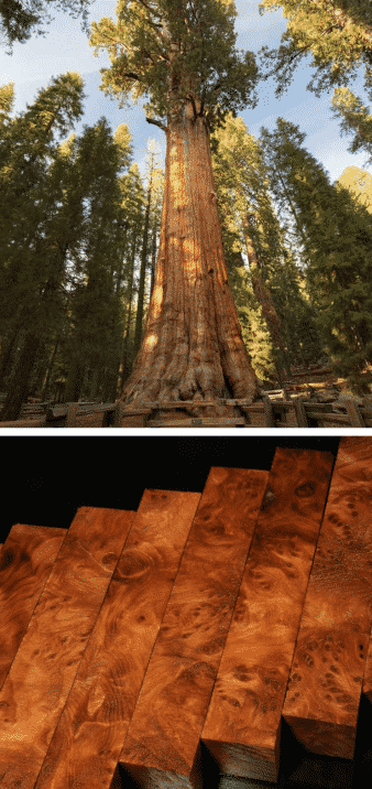 árbol más alto del mundo secuoya madera