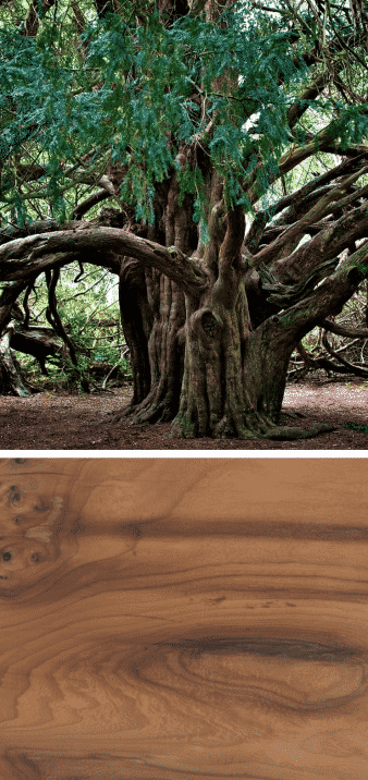 tejo árbol centenario madera oscura vetas
