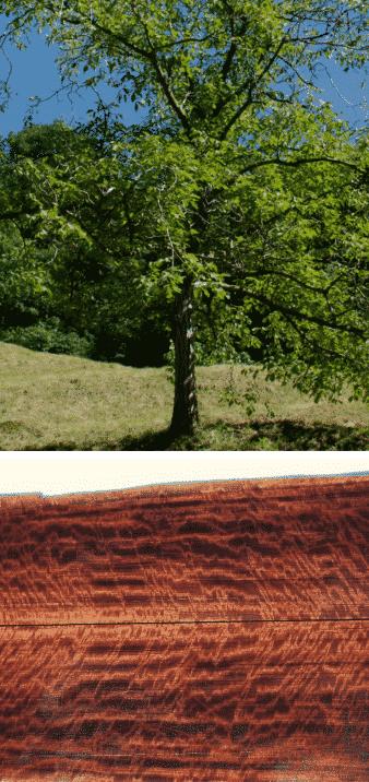 ukola árbol hemisferio sur madera preciosa